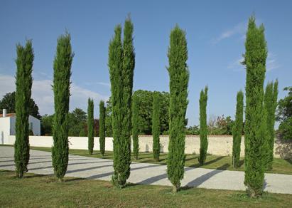 Cupressus, Toskanische Zypresse