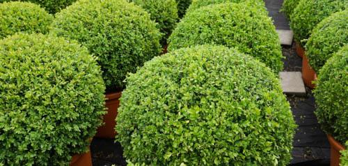 Kategorie-Buchsbaum-Buxus