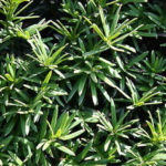 Eibe, Taxus baccata