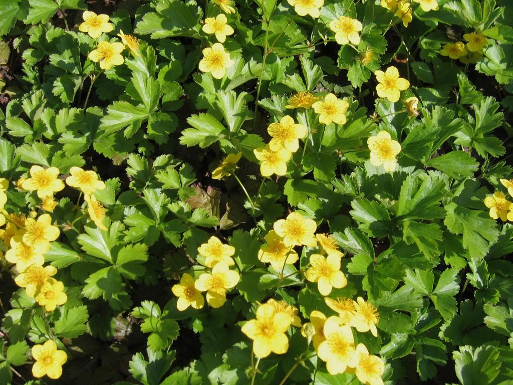 Pflanzmatten Waldsteinia ternata