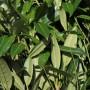 Prunus Herbergii