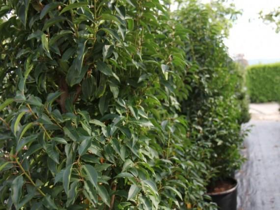 cupressus sempervirens pyramidalis toskanische zypresse green4living. Black Bedroom Furniture Sets. Home Design Ideas