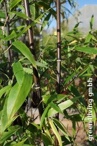 Phyllostachys nigra / Schwarzrohrbambus