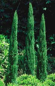 cupressus sempervirens pyramidalis toskanische zypresse green4living. Black Bedroom Furniture Sets. Home Design Ideas