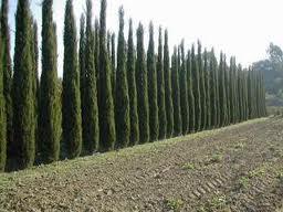 Toskanische Zypresse (4)