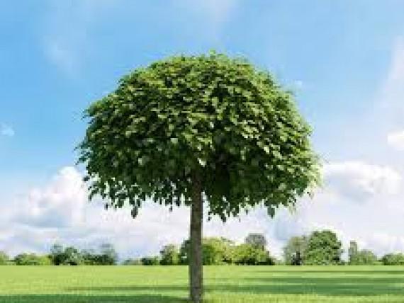 carpinus betulus 39 fastigiata 39 s ulenhainbuche green4living. Black Bedroom Furniture Sets. Home Design Ideas