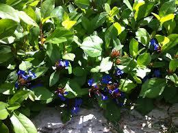 blauroter Steinsamen