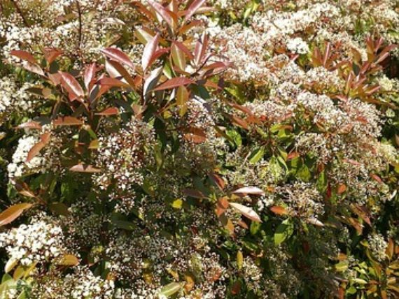 amerikanischer amberbaum liquidambar styraciflua. Black Bedroom Furniture Sets. Home Design Ideas