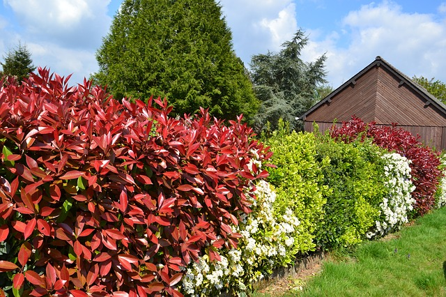 hedge-891354_640 photinia pixabay