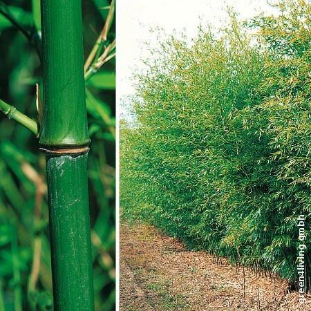 phyllostachys bissetii bisset bambus green4living. Black Bedroom Furniture Sets. Home Design Ideas