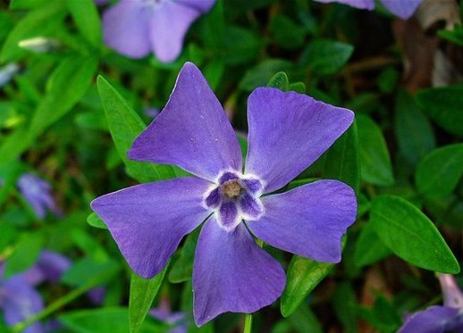 Vinca minor Bodendecker