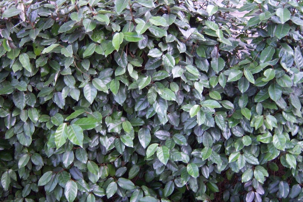 Elaeagnus ebbingei / Wintergrüne Oelweide - green4living