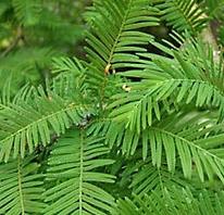 Urwaldmammutbaum