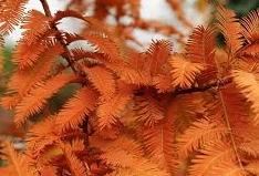 Urwaldmammutbaum4