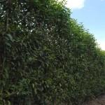 Prunus lusitanica Angustifolia / Portugiesischer Kirschlorbeer als Spalier