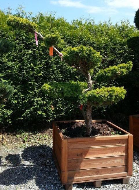 Juniperus plumosa Aurea