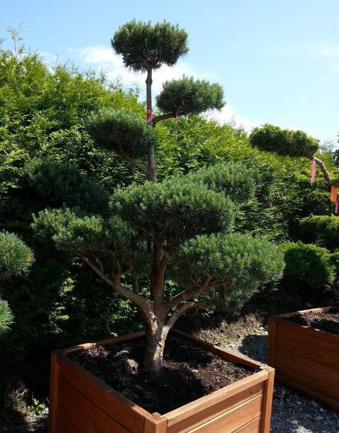 Gartenbonsai Pinus