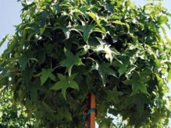 kugel trompetenbaum catalpa bignonioides nana. Black Bedroom Furniture Sets. Home Design Ideas