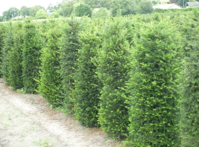 Taxus baccata 150-175