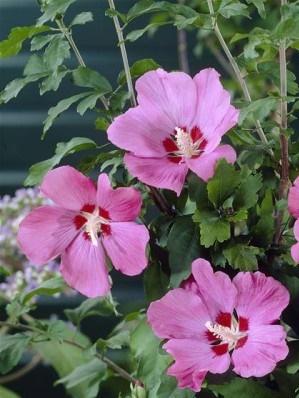 Hibiscus woodbrige
