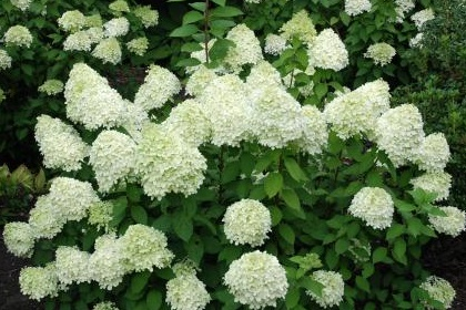 hydrangea paniculata limelight rispenhortensie limelight. Black Bedroom Furniture Sets. Home Design Ideas