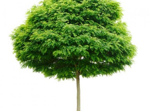 kugel trompetenbaum catalpa bignonioides nana green4living. Black Bedroom Furniture Sets. Home Design Ideas