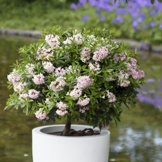 rhododendron bloombux als echte alternative zum buchs. Black Bedroom Furniture Sets. Home Design Ideas