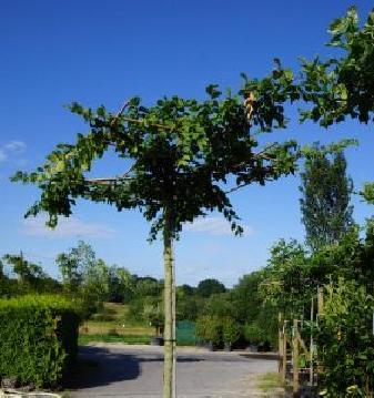 Carpinus betulus Dachform