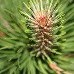 Pinus mugo, Bergföhre