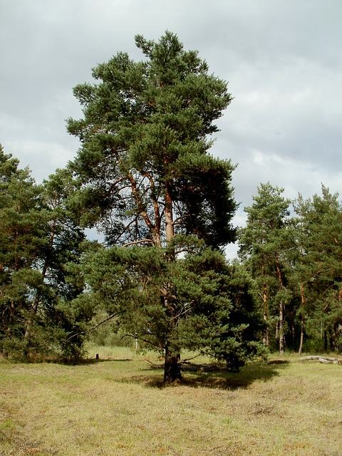 Föhre, Pinus sylvestris