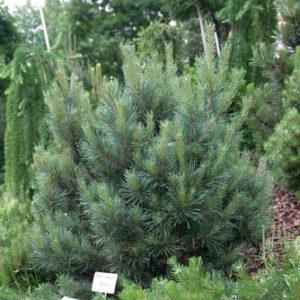 Kiefer , Pinus sylvestris