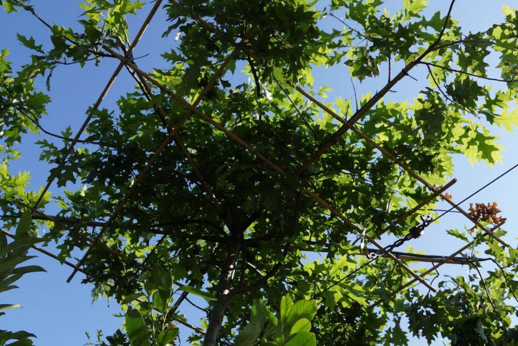 Quercus palustris Dachfrom