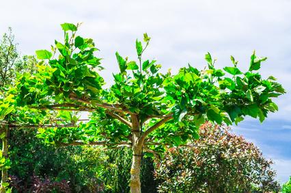 Sumpfeichen-Dachplantane