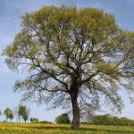 Quercus robur Eiche