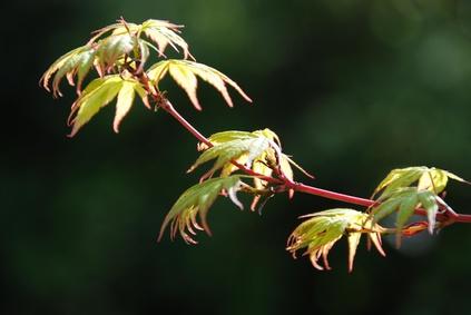 Acer palmatum , Sangokaku Ahorn