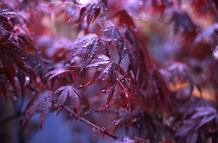 Acer palmatum Bloodgood,