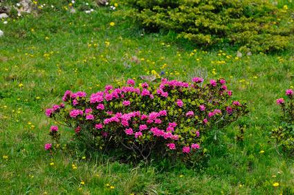 Alpenrose , Rhododendron ferrugineum