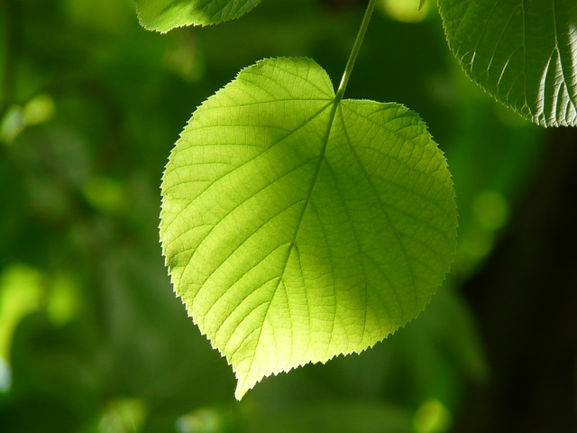 Winderlinde Blatt pixabay hans leaf-55859_640