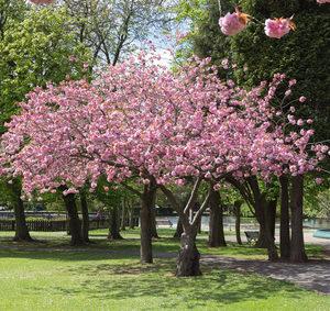 Prunus Accolade, Zierkirsche