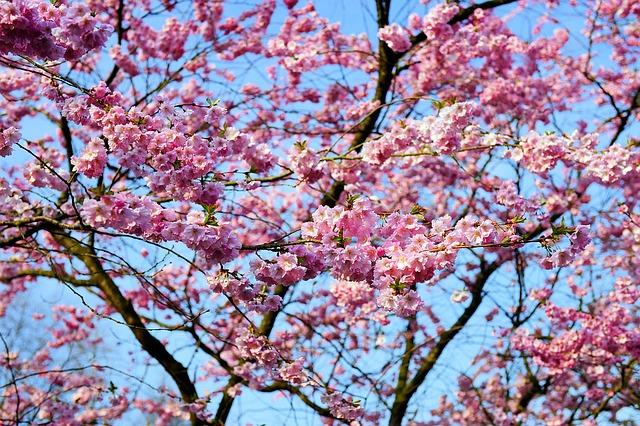 Zierkirsche cherry-blossom-1318259_640