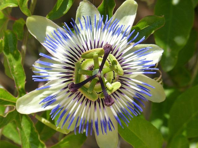 passiflora-caerulea-1433477_640