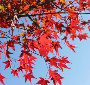 Fächerahorn Acer palmatum Fireglwo