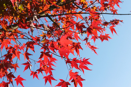Rote Ahornbltter im Herbst vor blauem Himmel