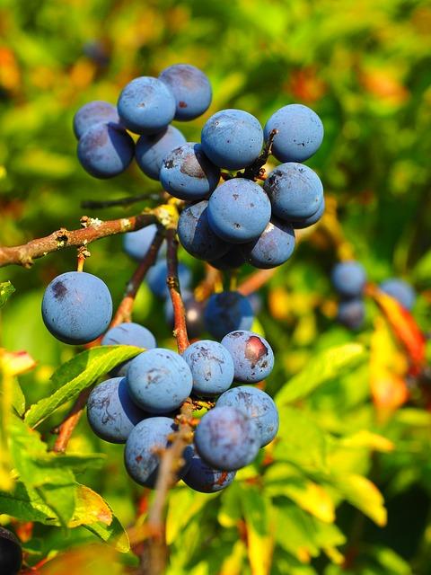 Prunus spinosa Beeren