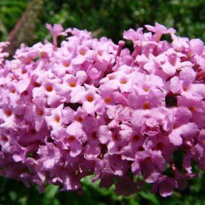 Buddleja 'Pink Delight' , Sommerflieder