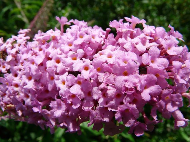 Sommerflieer Pink
