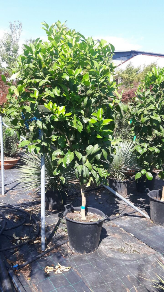 Zitronenbaum, Citrus limon