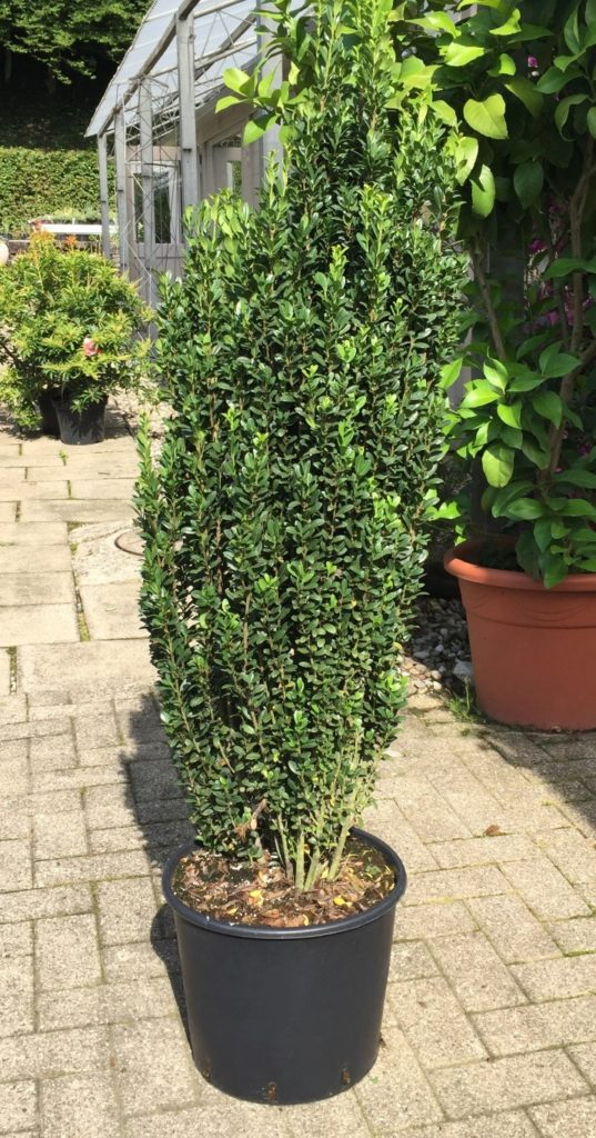 Ilex fastigiata (Medium)