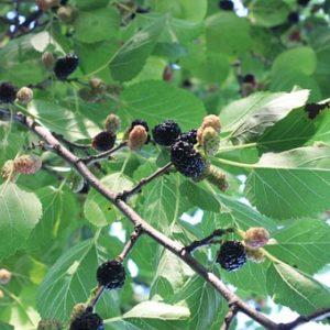Schwarze Maulbeere
