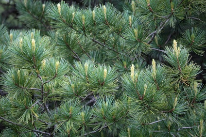 Arve oder Pinus cembra